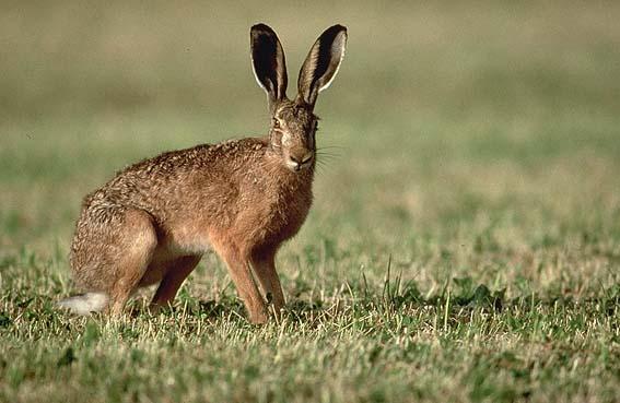 Nouvelles souches virales de rhd et ebhs chez le lapin et - Comment se debarrasser des lapins sauvages ...